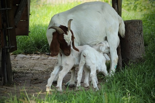A mother goat with twin little goat