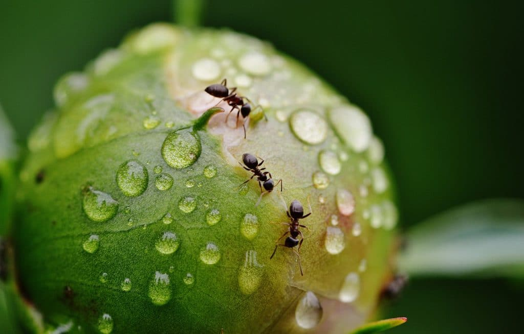 ant in a peony with rain drops