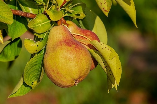two redish pear