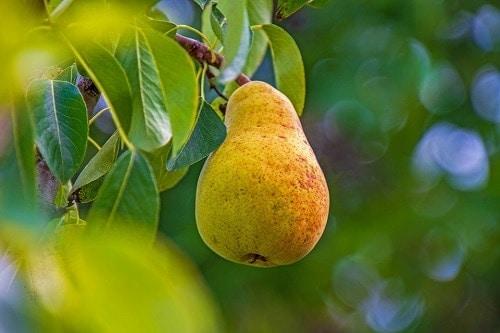 single yellow pear